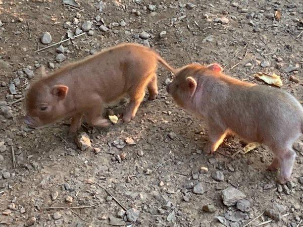 Purebred Juliana piglets